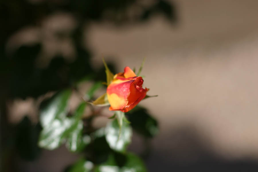 Opening Red and Yellow Rose Blossom (50mm, f/2.2, 1/4000 sec) <!--107_0710.CRW-->
