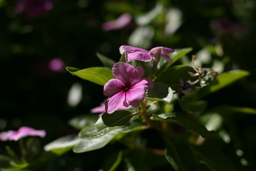 Some Purple flower (50mm, f/2.8, 1/3200 sec, Manual focus) <!--106_0640.CRW-->