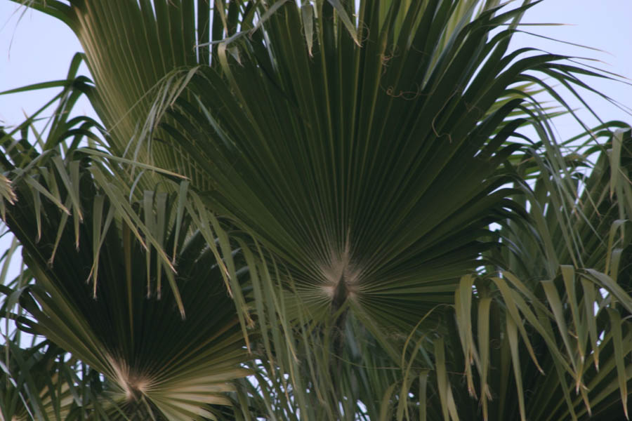 King Palms, palm [taken in the early evening] (ISO 100, 300mm, f/5.6, 1/13 sec)